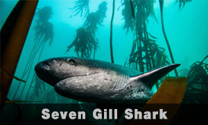 seven-girl-shark