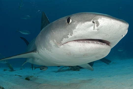 up close tiger shark