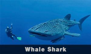 wale-shark
