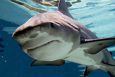 замбези акула фото