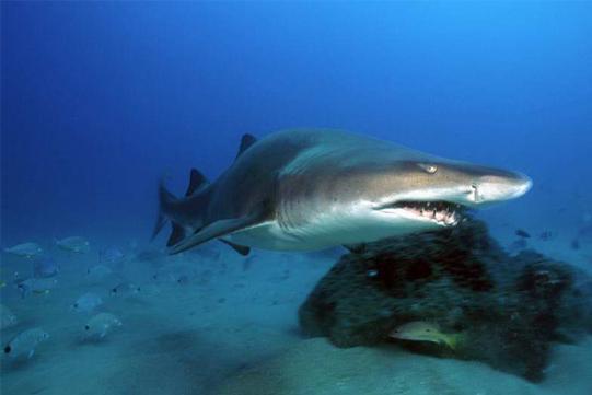raggie shark diving