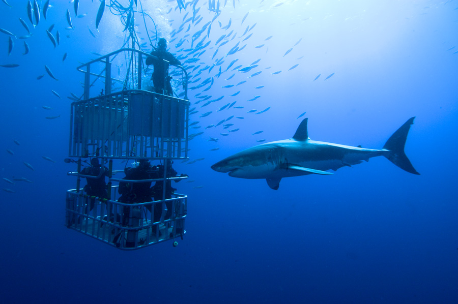 Great White Shark Africa | Great White Shark Cage Diving Dive The Big 5