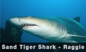 Sand-Shark