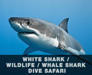 great-white-shark-on-blue