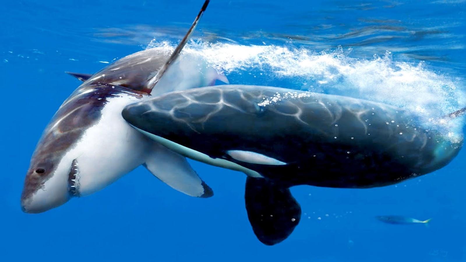 orcas vs great whites