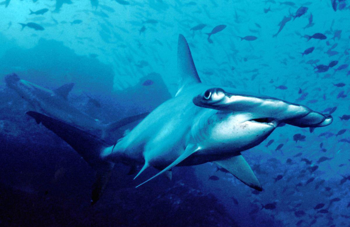 Scalloped hammerhead shark diving south africa