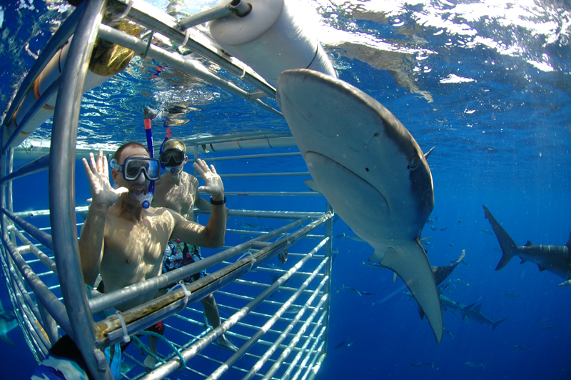 exhilarating shark cage diving
