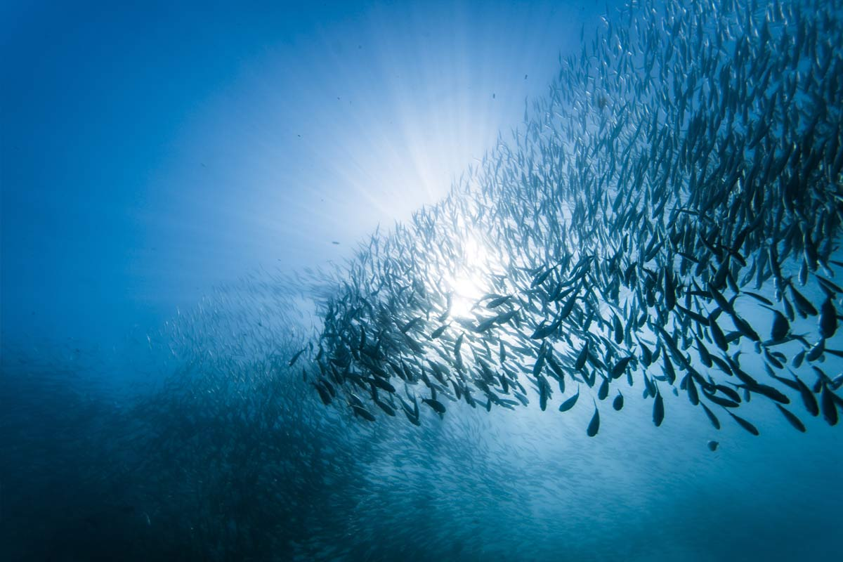 shoal during the sardine run