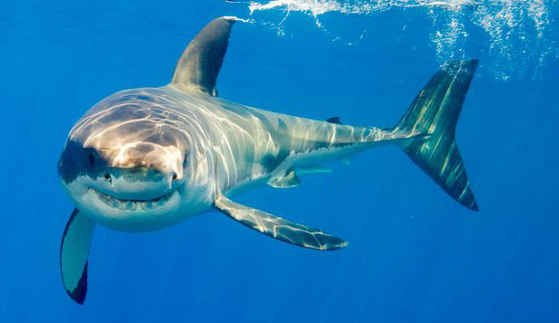 Great white shark diving in South Africa