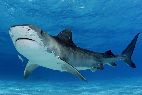 tiger shark south africa