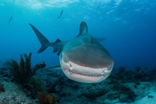 close up tiger shark