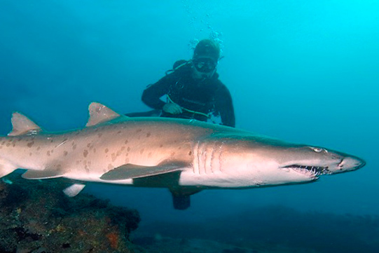 diver with raggie shark south africa