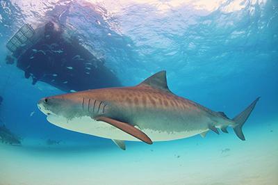 tiger_shark4