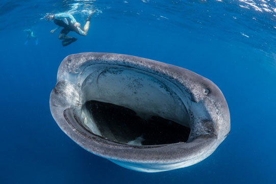 whale shark diving in south africa with diver