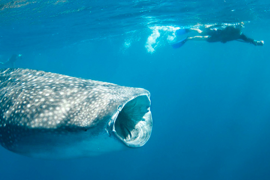 diving with whale sharks in South Africa