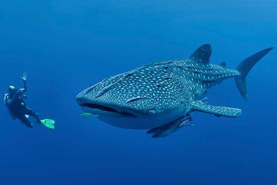 whale shark diving