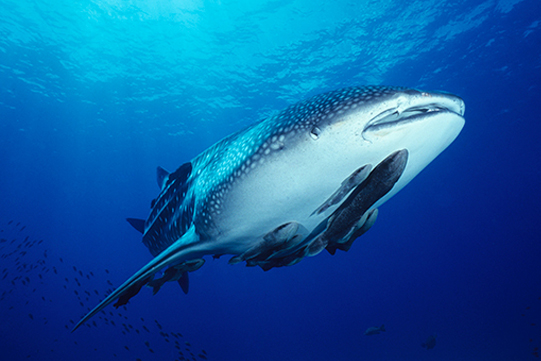 whale shark diving in south africa