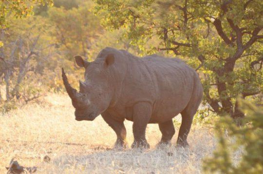 1-White-rhino-bull