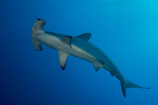 hammerhead shark diving south africa