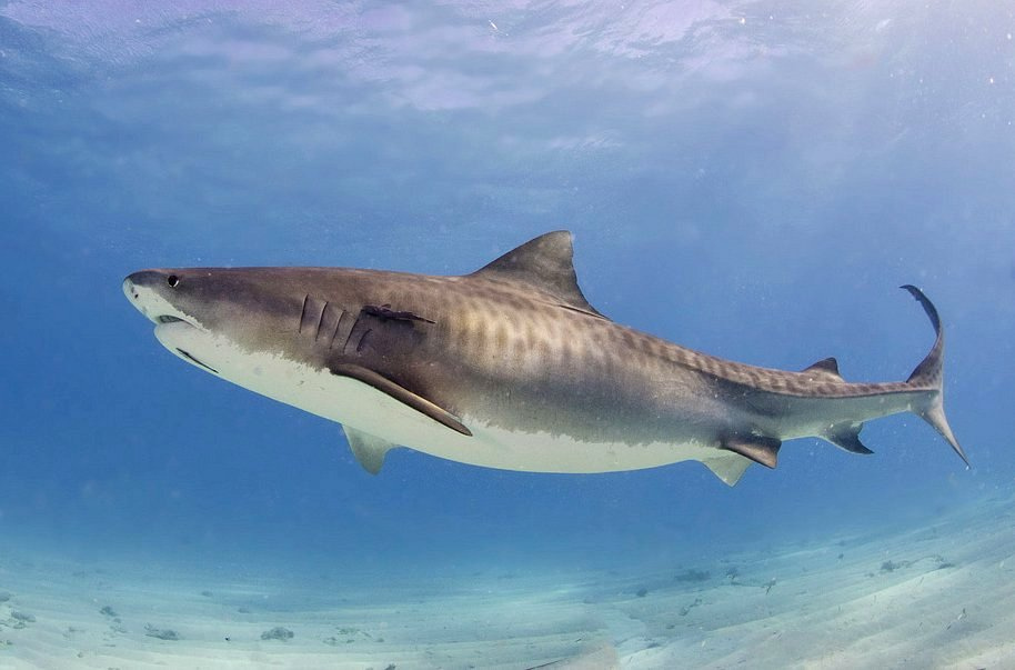 tiger shark diving south africa