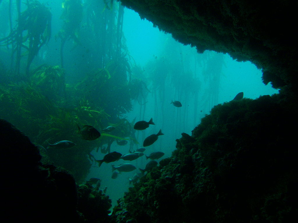 Kelp Forest diving Cape Town