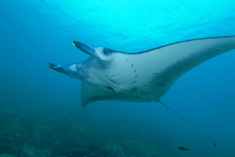 Manta ray diving