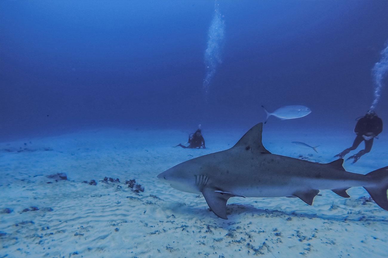 Zambezi Shark or Bull Shark - Dive the Big 5