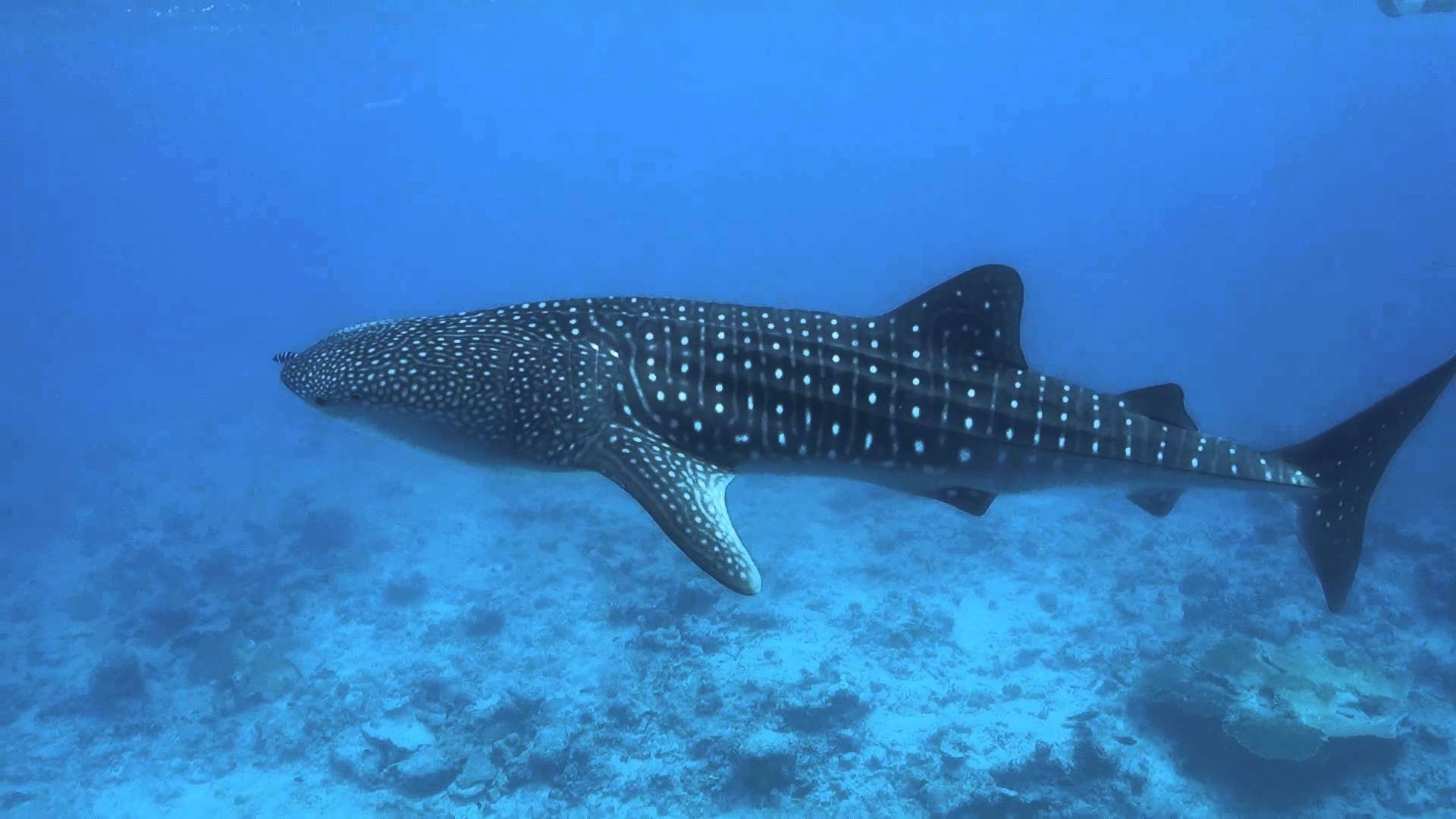 Whale Shark Wallpapers 25668 3770066