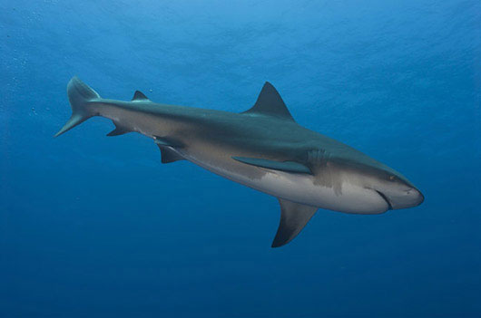 Bull Shark Diving South Africa