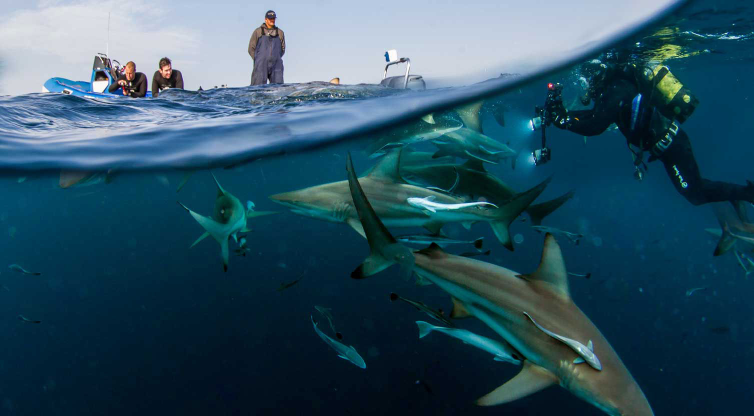 Sharks of Aliwal Shoal