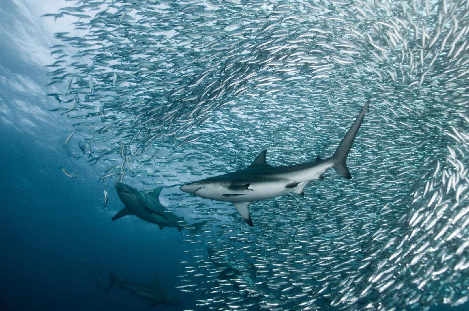 sardine and shark